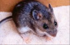 All-State Exterminating: Pest Control - Deer Mice
